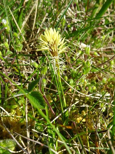 Carex humilis - laîche naine Carex_13