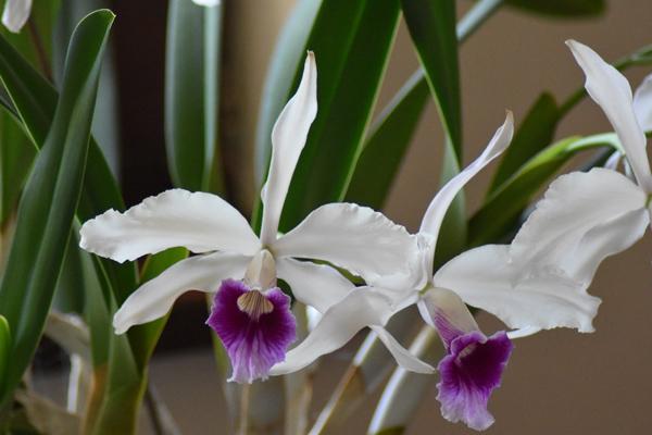 orchidées - floraisons du moment 2018 - Page 3 Cattle19