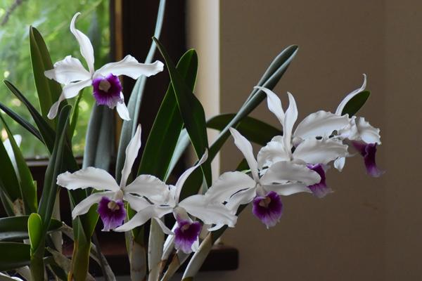 orchidées - floraisons du moment 2018 - Page 3 Cattle20
