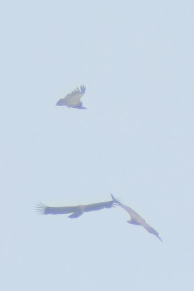 les visiteurs à plumes sauvages - 3 - Page 3 Deitai10