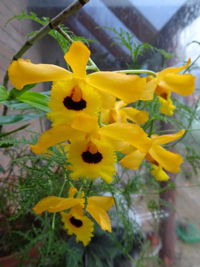 Dendrobium fimbriatum var. oculatum Dendro10