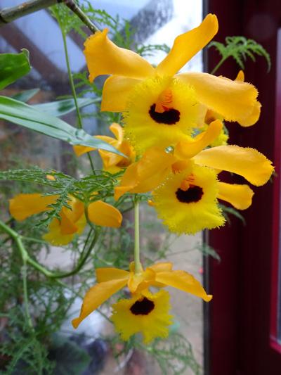 Dendrobium fimbriatum var. oculatum Dendro11