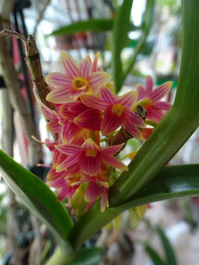 orchidées - floraisons du moment 2018 - Page 2 Dendro23