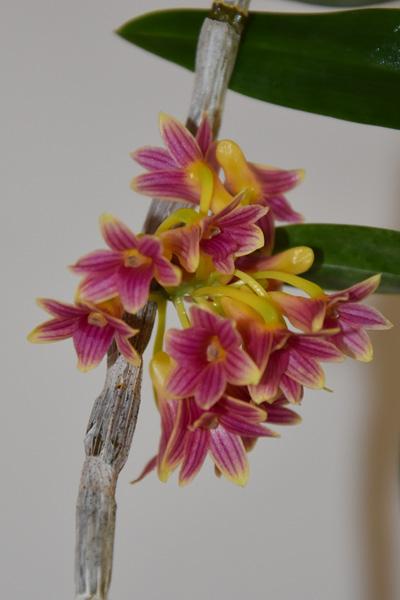 orchidées - floraisons du moment 2018 - Page 4 Dendro24