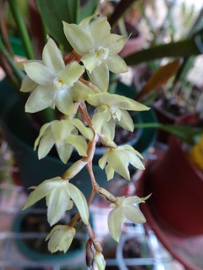 orchidées - floraisons du moment 2018 - Page 4 Dendro25