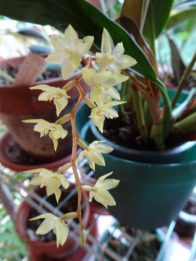 orchidées - floraisons du moment 2018 - Page 4 Dendro26