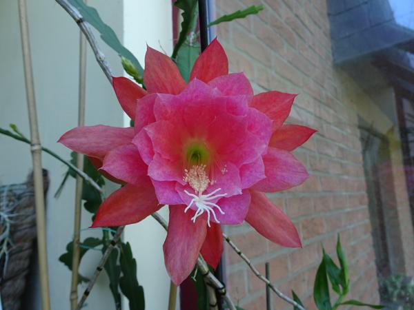 Epiphyllum - floraisons - Page 6 Disoca10