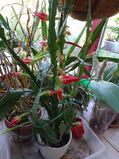 Epiphyllum - floraisons - Page 6 Disoca11