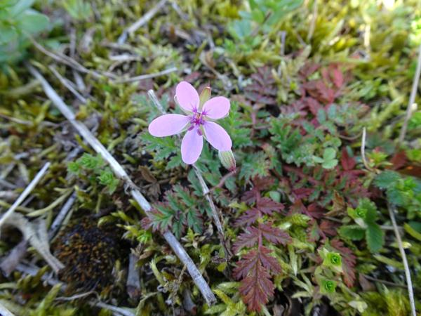 Erodium cicutarium - érodium à feuilles de ciguë, bec-de-grue Erodiu10
