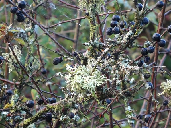 Evernia prunastri - évernie du prunellier  Everni10