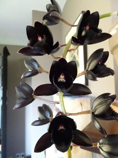 orchidées - floraisons du moment 2018 - Page 2 Frdeck10