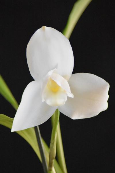 orchidées - floraisons du moment 2018 Lycast10