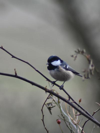 les visiteurs à plumes sauvages - 3 - Page 2 Meisan11