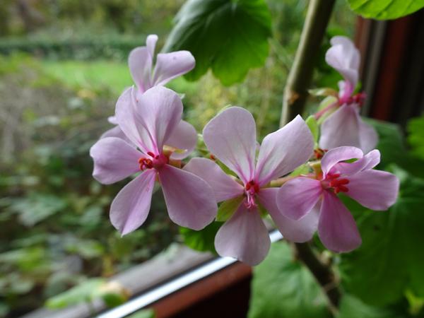 Pelargonium acraeum Pelarg10