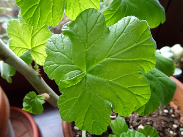 Pelargonium acraeum Pelarg11