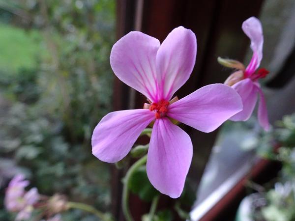 Pelargonium acraeum Pelarg12