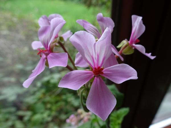 Pelargonium acraeum Pelarg13