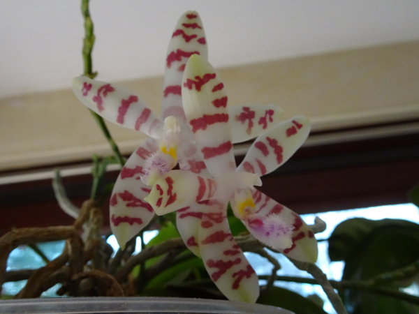 Phalaenopsis - hybrides primaires - Page 4 Phalen10