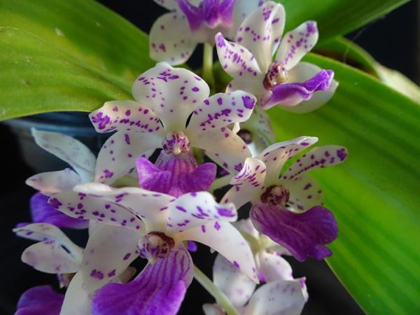 orchidées - floraisons du moment 2018 Rhynch11