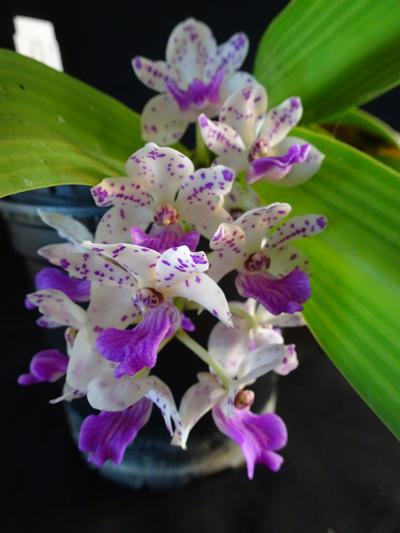 orchidées - floraisons du moment 2018 Rhynch12