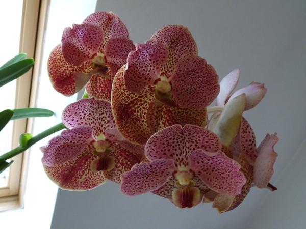orchidées - floraisons du moment 2018 Vanda_10