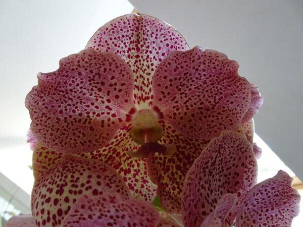 orchidées - floraisons du moment 2018 Vanda_11