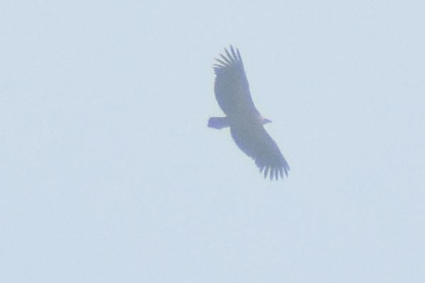 les visiteurs à plumes sauvages - 3 - Page 3 Vautou11