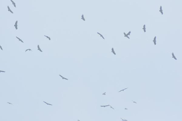 les visiteurs à plumes sauvages - 3 - Page 3 Vol_va10