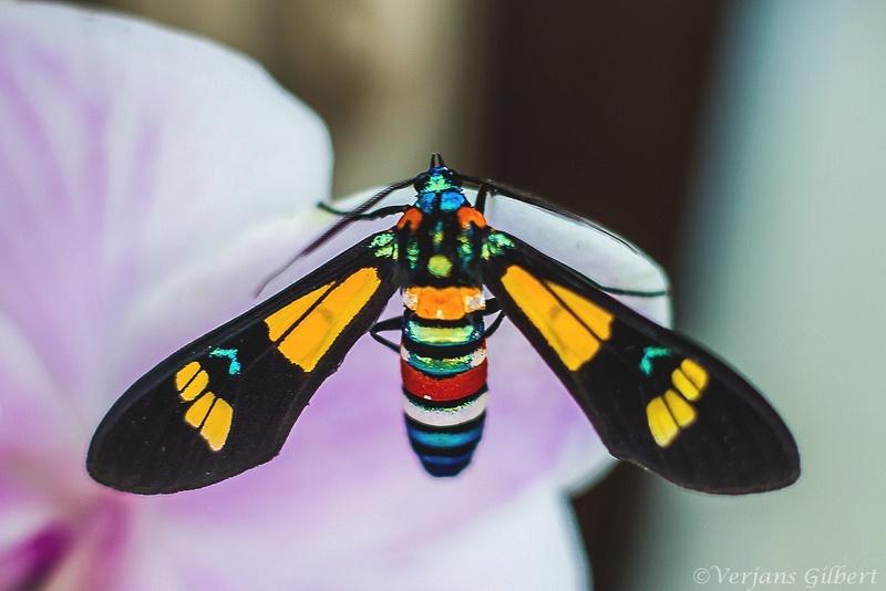 Élevage de Euchromia folletii ( Imgl7710