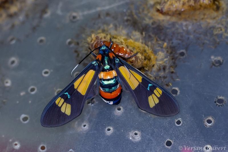 Élevage de Euchromia folletii ( Imgl7810