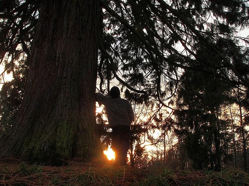 Mammutbäume: Sequoia, Sequoiadendron, Metasequoia - Seite 3 P1216311