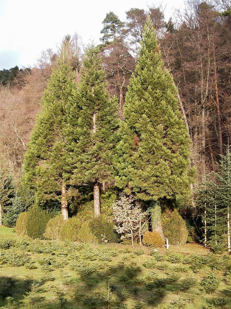 Mammutbäume: Sequoia, Sequoiadendron, Metasequoia - Seite 3 P1216312