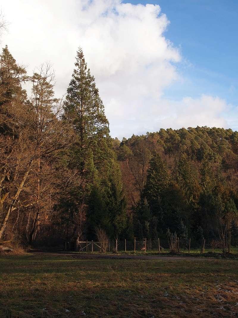 Mammutbäume: Sequoia, Sequoiadendron, Metasequoia - Seite 3 P1216313