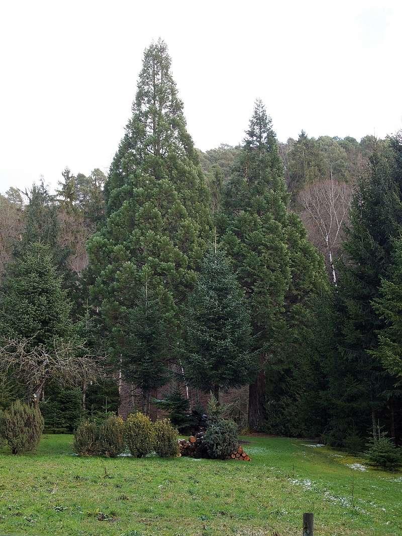 Mammutbäume: Sequoia, Sequoiadendron, Metasequoia - Seite 3 P1216314