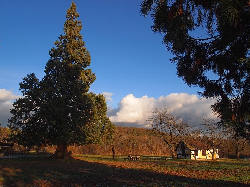 Mammutbäume: Sequoia, Sequoiadendron, Metasequoia - Seite 3 P1216317