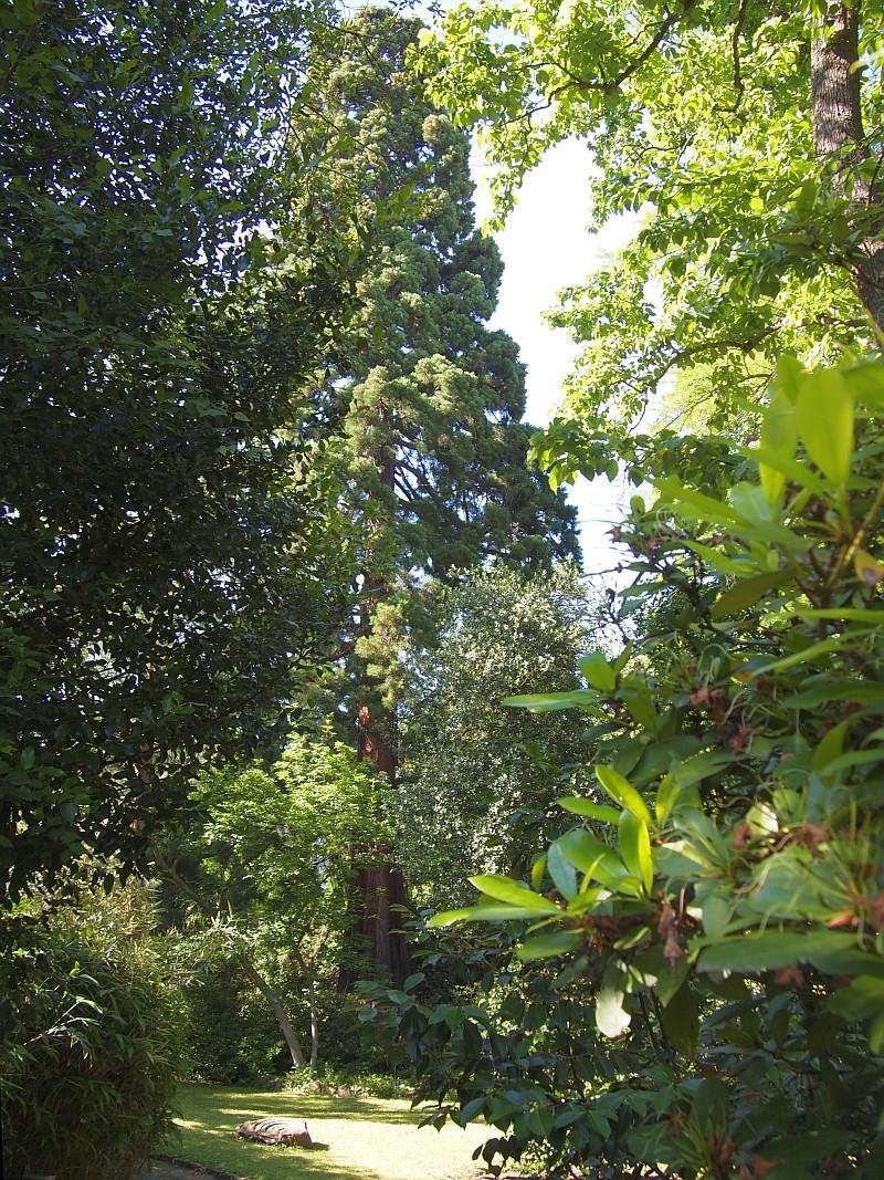 Mammutbäume: Sequoia, Sequoiadendron, Metasequoia - Seite 6 P6030010
