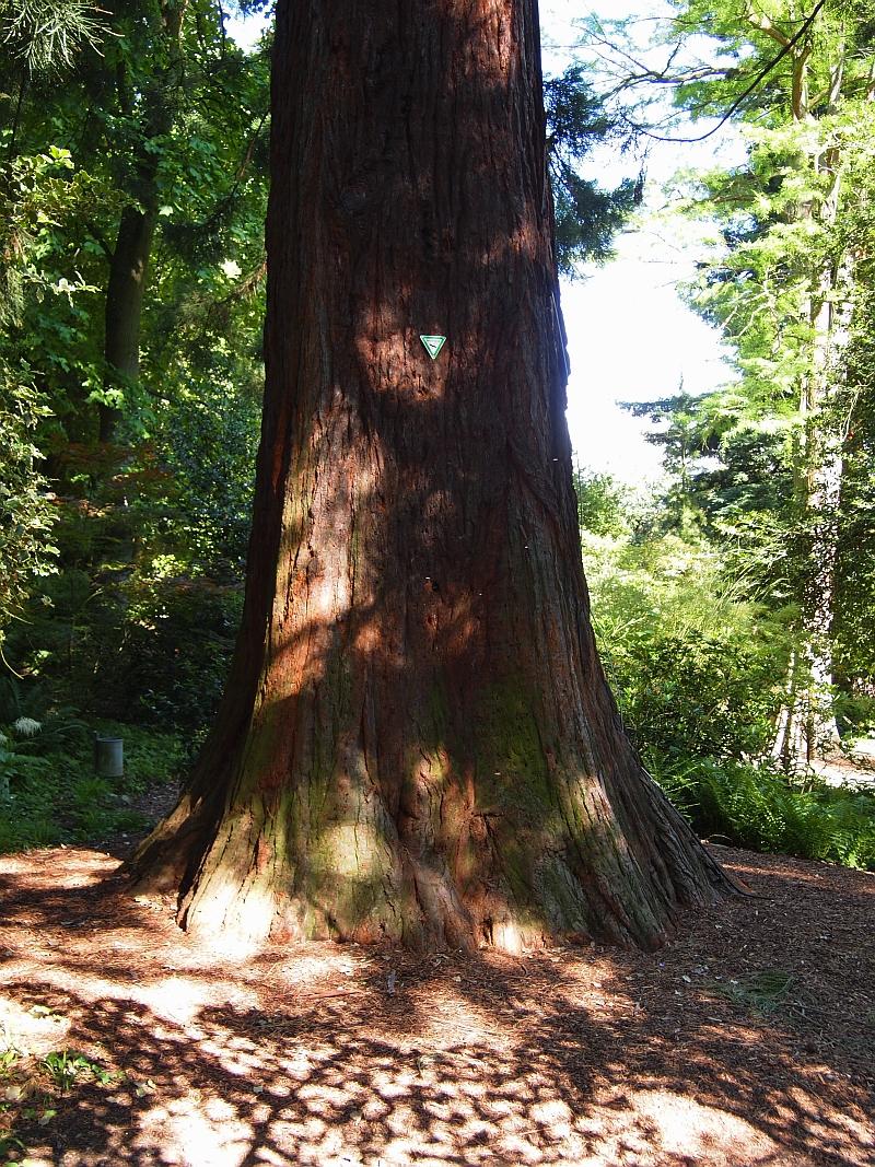 Mammutbäume: Sequoia, Sequoiadendron, Metasequoia - Seite 7 P6030014