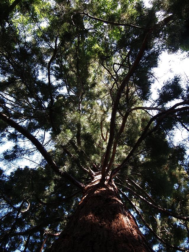 Mammutbäume: Sequoia, Sequoiadendron, Metasequoia - Seite 7 P6030015