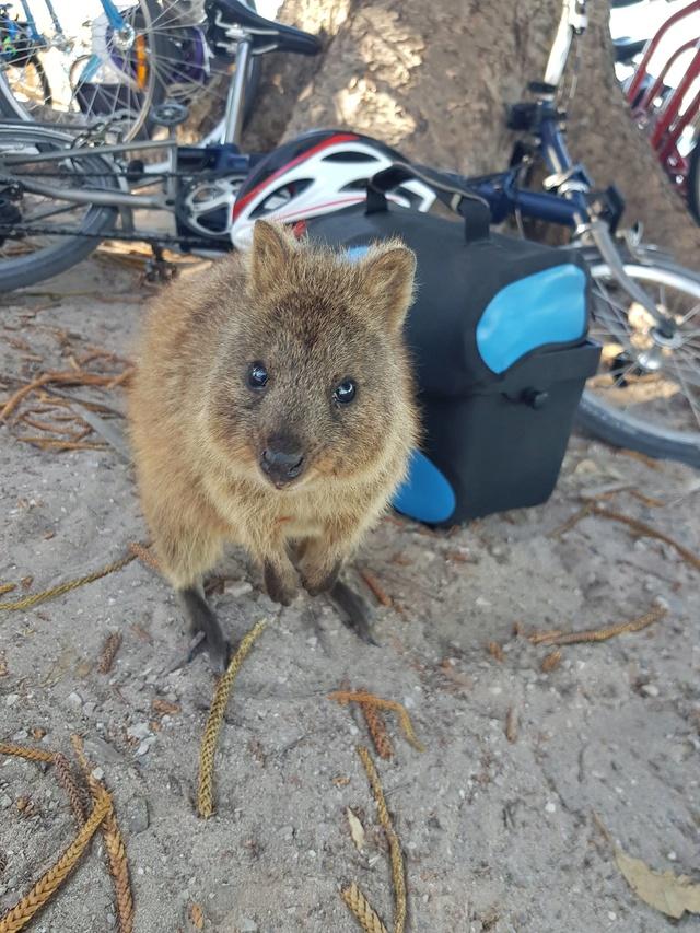 Les dangés du vélo en Australie Khokas10