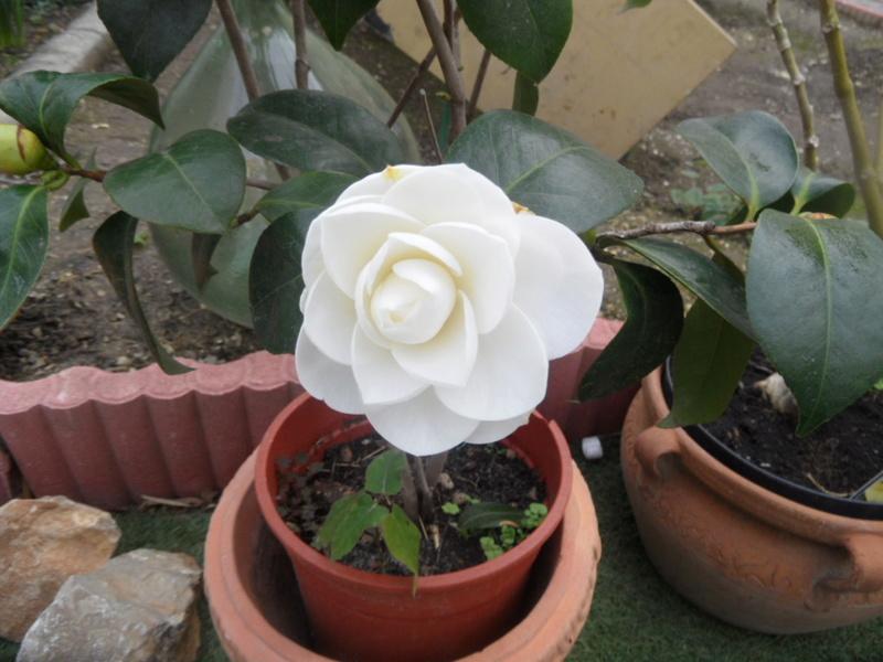 Camellia 2018 Sam_0010
