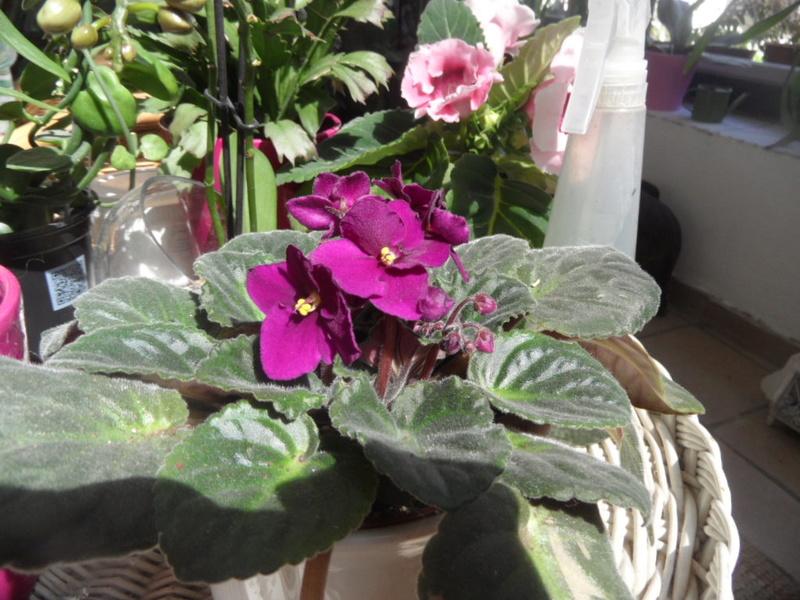 Les violettes africaines / violettes du cap(Saint Paulia). Entretien, espèces, des photos. - Page 2 Sam_0128