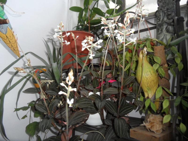 floraisons des orchidées - Page 42 Sam_3926