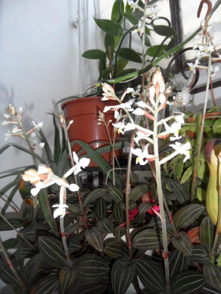 floraisons des orchidées - Page 42 Sam_3928