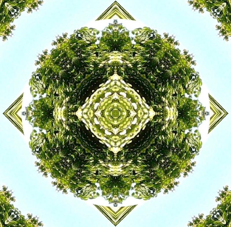 Déclinaison d'un sureau en fleurs Le_sur11