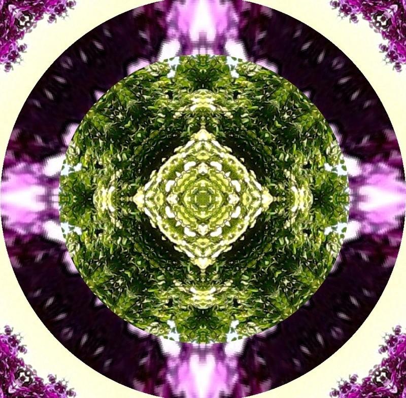 Déclinaison d'un sureau en fleurs Le_sur13