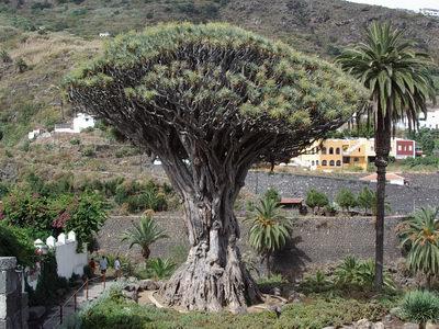 Hommages aux arbres Teneri10