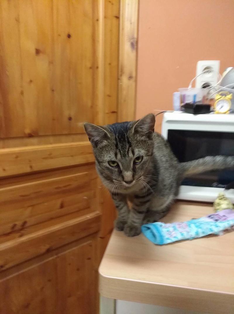 TOM, adorable chaton moucheté de 6 mois typé Ocicat 23433110