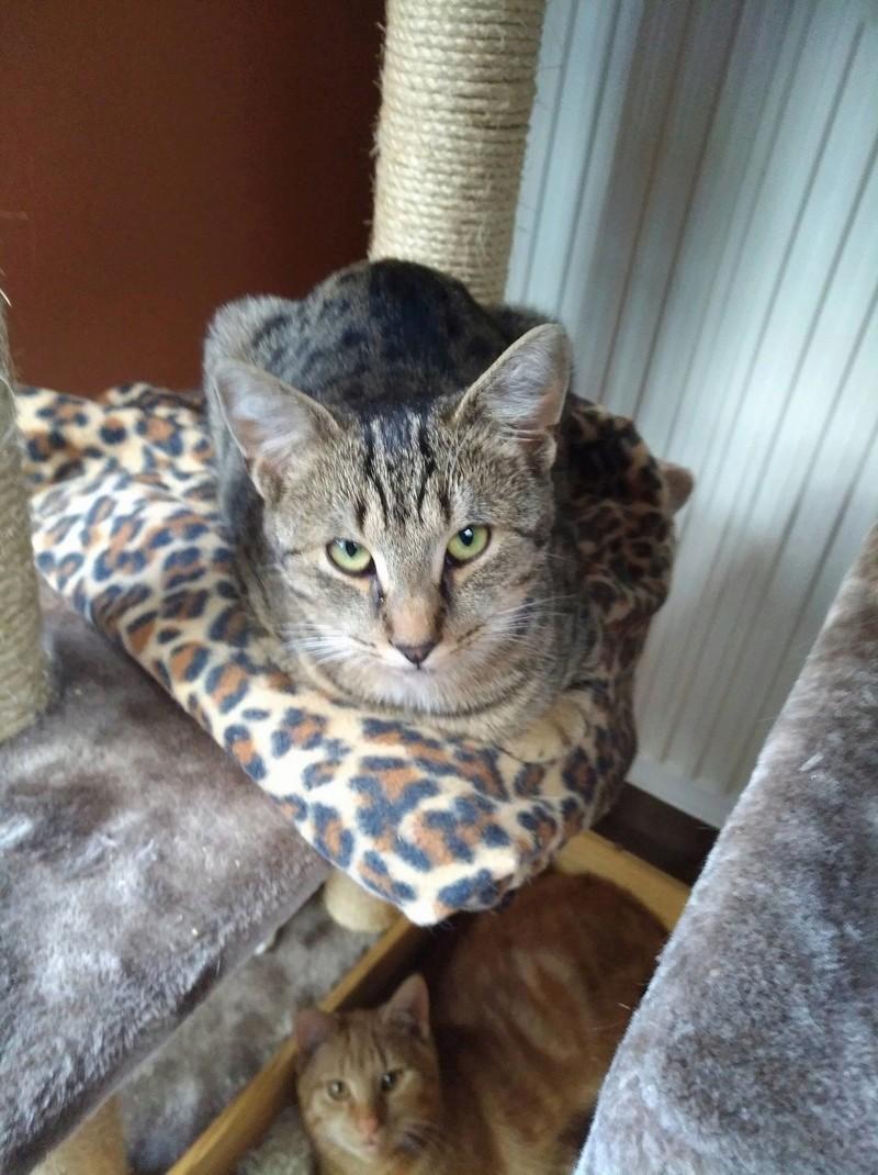 TOM, adorable chaton moucheté de 6 mois typé Ocicat 23714910