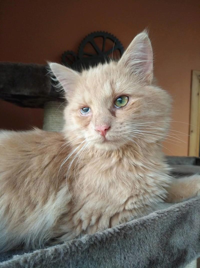 Boule, adorable chaton sable à poils mi longs 23732210