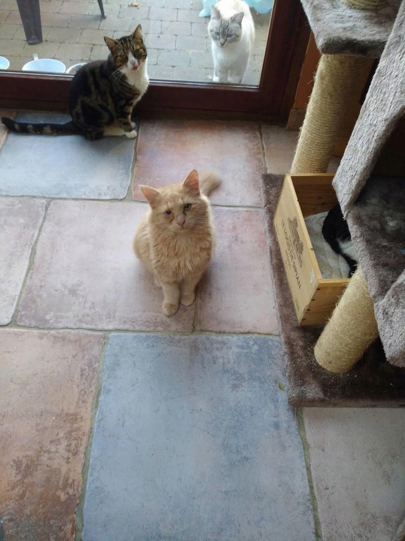 Boule, adorable chaton sable à poils mi longs 23732310